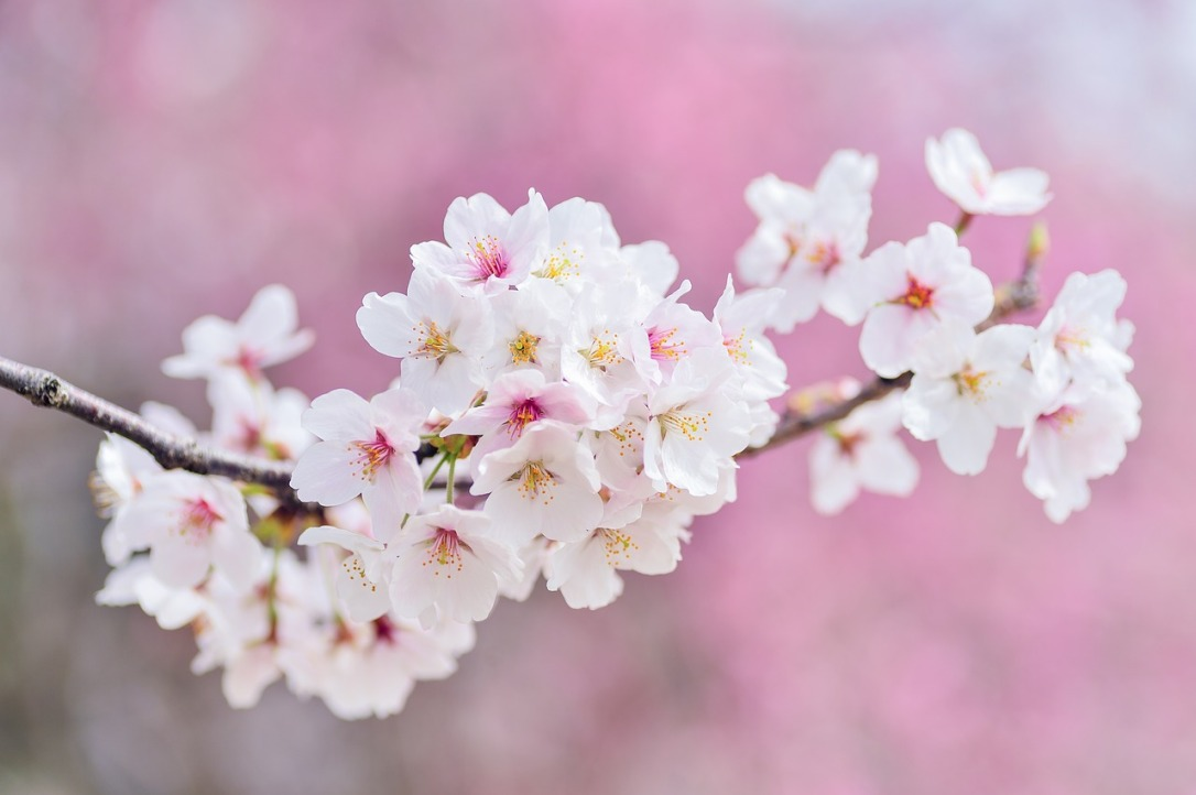 cherry-blossoms-2218781_1280